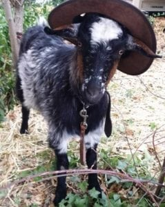 Akubra On A Goat @jag.paterson